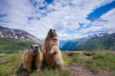 Alpine Marmot; Marmota marmota;