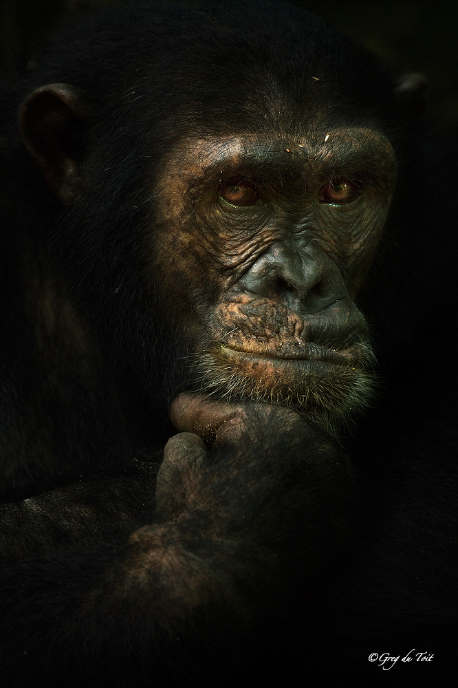 ftf_chimpthinker_large
