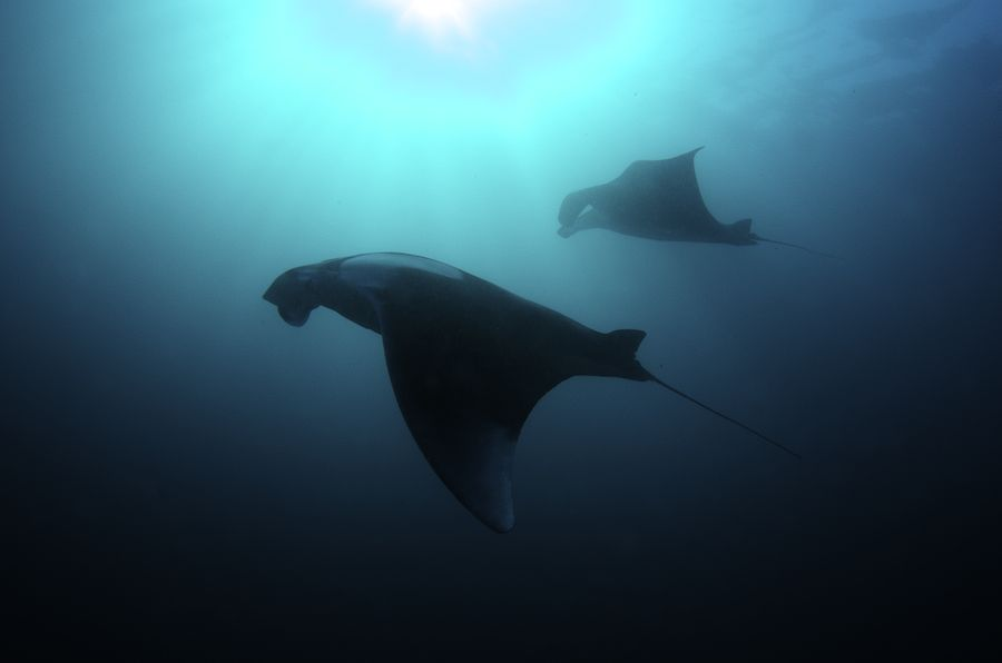 Giant Manta Ray (Manta birostris) Two Giant Manta Rays filter feeding. These huge animals (with a wingspan of up to 7 meters) staged an incredible ballet around us, slowly flapping their wings with amazing majestuosity. Waigeo, Raja Ampat, West Papua, Indonesia.