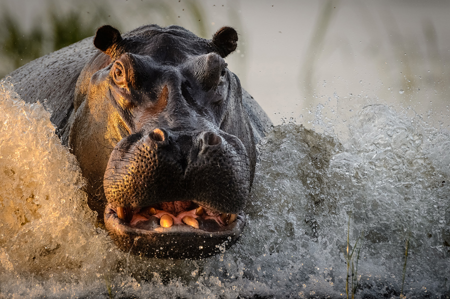 I was on a photographic safari in Chobe River, Botswana in April 2016 when I took this image. At this time of the year the water levels are high and herds of hippopotamus share the tributaries. This particular bull was very territorial and liked a mock charge whenever our boat (driven by a qualified local guide) passed his patch of the river on our daily outings. On this occasion, I pre-focussed my 600mm lens and fired a few shots at a safe distance and got this golden hour shot!